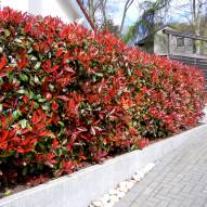 Photinia fraseri Red Robin heg